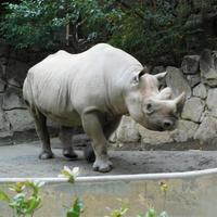 上野のハンサムボーイのクロサイ@上野動物園 2018.11.20 - ごきげんよう 犀たち