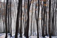初雪の美人林 - 松之山の四季2