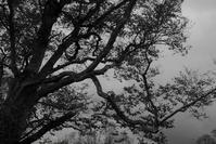 大樹 - フォトな日々
