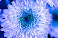 Blue Chrysanthemum - え~えふ写真館