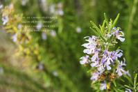 Rosemary - 木曜茶会と日々の香草・薬草ノート