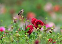 ダリア畑のノビタキⅡ - 蝶鳥写楽