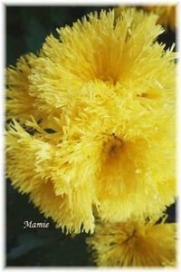 菊の花 - おだやかに たのしく Que Sera Sera