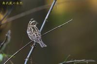 冬鳥Ⅵ号<カシラダカ> - 奥武蔵の自然
