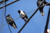 コクマルガラス今シーズン初見・初撮り - 私の鳥撮り散歩