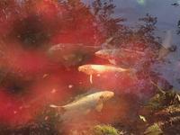鯉と一緒に - 瞳の記憶