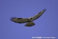 ノスリの狩り - 気ままに野鳥観察