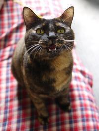 猫のお留守番 ぴーこちゃん編。 - ゆきねこ猫家族