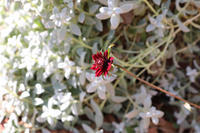 来春のチューリップを仕込む - my small garden~sugar plum~