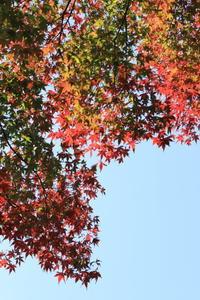 2018.11 神代植物公園紅葉のグラデーション - ゆらりっぷ -yurari's trip-