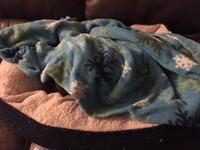 保健室便り●ゲロってもまだ寝ない - ミニチュアブルテリア ダージと一緒3