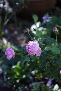 秋バラが好調 - バラと遊ぶ庭