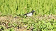 セグロセキレイ(背黒鶺鴒)セキレイ科 - 山と鳥を愛するアナパパ