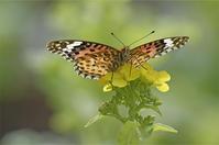 ●●寒咲ハナナで吸蜜中・・・・・・・ツマグロヒョウモン・メス  ●● - kameのフォトブック2