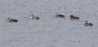 ミコアイサ・・今日の長都沼とその界隈 - 今日の鳥さんⅡ