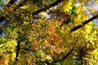 噴水に咲く銀杏--日比谷公園2018 - くにちゃん4@撮影散歩