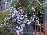 バコパ - だんご虫の花