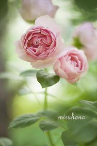 薔薇作品の解説。 - MIRU'S PHOTO