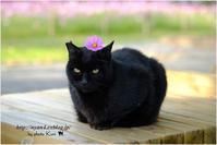 コスモスと黒猫 - 4にゃん日記+