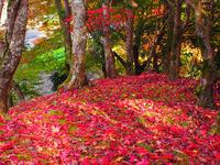 紅葉の落葉の紅葉 - おもいでは自転車とともに