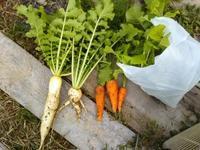 畑に買い物に行く♪大根、人参、菜花 - 化学物質過敏症・風のたより2