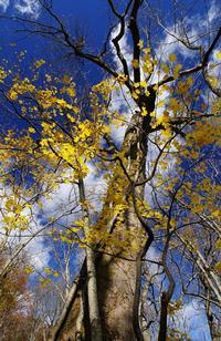 鮮やかな黄葉 - 自然と仲良くなれたらいいな2