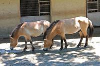 モウコノウマ「ハーン&ルーカス」(多摩動物公園) - 続々・動物園ありマス。