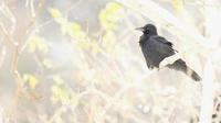 ハシボソガラス - 北の野鳥たち