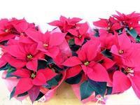ポインセチア - 大阪府茨木市の花屋フラワーショップ花ごころ yomeのブロブ