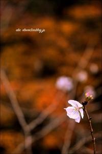 紅葉と秋の桜 - A  B  C