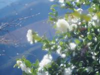 桜山公園の白い山茶花 - 光の音色を聞きながら Ⅳ