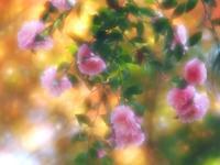 桜山公園のピンクの山茶花 - 光の音色を聞きながら Ⅳ
