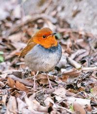 鳥 回想㊴)九州山地の野鳥2=熊本県と県境を含む - チャレンジ! 日々の散歩道