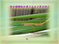 フォト575『枯れ蟷螂枯れ果てるまで斧を研ぐ』zsm2702 - 老仁のハッピーライフ