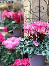 ミニクラメンの寄せ植え - さにべるスタッフblog     -Sunny Day's Garden-