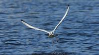 ユリカモメは鮎を捕りまくるが、、、 - Life with Birds 3