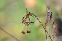 ミヤマアカネの交尾と産卵Byヒナ - 仲良し夫婦DE生き物ブログ
