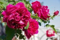 薔薇が華やかに咲く小さなローズガーデン - 季節の風を追いかけて