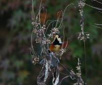 秋の恵みは、2、草の種、 - ぶらり探鳥
