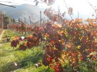 ぶどう畑の冬支度。 - のび丸亭の「奥様ごはんですよ」日本ワインと日々の料理