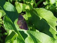 ムラサキの輝きが見られる公園 - 蝶超天国