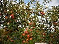 りんご「サンふじ」の収穫が続いています - 信州ピース&ナチュラルだより