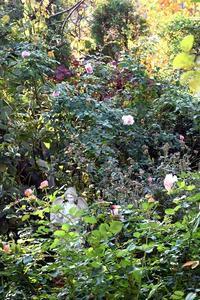 2018年11月最終週の庭の薔薇 - バラとハーブのある暮らし Salon de Roses