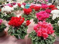 「シクラメン展」準備中~♪ - 手柄山温室植物園ブログ 『山の上から花だより』