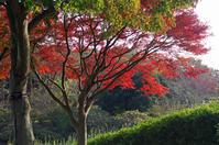 昭和記念公園紅葉2 - 生きる。撮る。