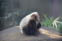 アナグマオンステージ - 動物園へ行こう