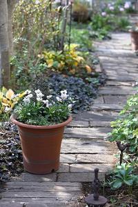 ビオラの寄せ植え - バラと遊ぶ庭