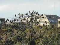 大濠公園の中の島のカワウ烏ではありません - 美由紀の六角オセロ ラブ