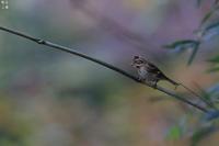 突然カシラダカ - 野鳥公園