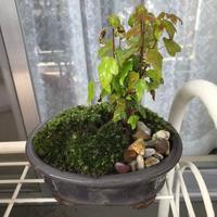 小さな盆栽 - おうちやさい